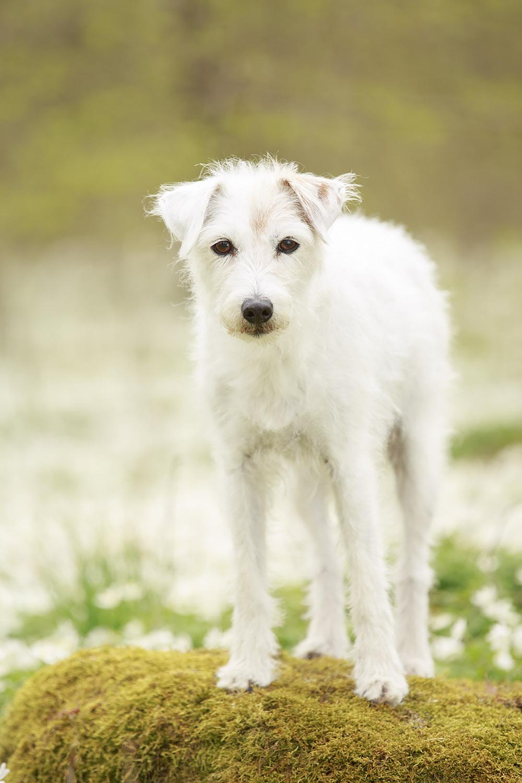 Hund bland vitsippor - fotograf Phia Bergdahl Västervik